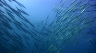 Stock Video Footage of Chevron barracuda (Sphyraena putnamiae) school