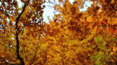 Dolly shot of beautiful yellow autumn tree Stock Footage