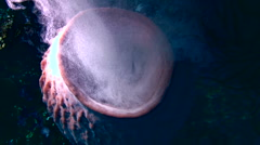 Giant barrel sponge (Xestospongia testudinaria) spawning from the top Stock Footage