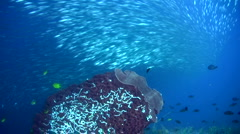 Giant barrel sponge (Xestospongia testudinaria) with school of sardines 2 Stock Footage