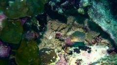 Solor boxfish (Ostracion solorensis), female Stock Footage