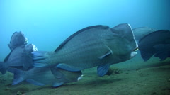 Humphead or Bumphead parrotfish (Bolbometopon muricatum), large group Stock Footage