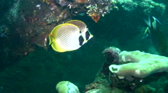 Panda or Eye-patch butterflyfish (Chaetodon adiergastos) Stock Footage