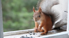 Squirrel eat  sunflower seeds Stock Footage