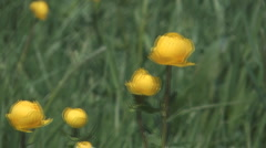 Yellow globe flower in the field on a sunny day. Stock Footage