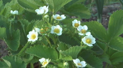 Blossoming wild strawberry close up shot. Stock Footage