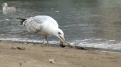 Seagull Scavenging Stock Footage