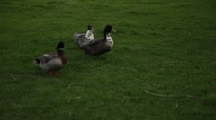 Duck in a Pond 3 Stock Footage