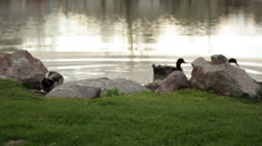 Ducks getting in the pond Stock Footage