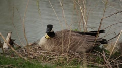 Goose Laying on Eggs Stock Footage