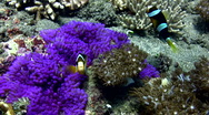 Clark's anemonefish (Amphiprion clarkii) in a purple anemone Stock Footage