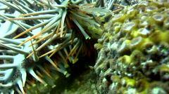 Crown-of-thorns sea star (Acanthaster planci) walking, close up Stock Footage
