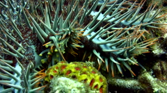 Crown-of-thorns sea star (Acanthaster planci) walking Stock Footage