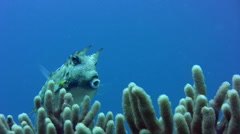 Longhorn cowfish (Lactoria cornuta) over soft coral Stock Footage