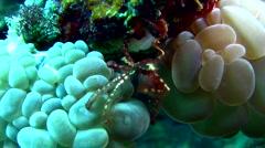 Orang utan crab (Achaeus japonicus) on bubble coral Stock Footage