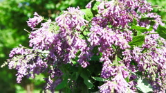 Turning lilac HD Stock Footage