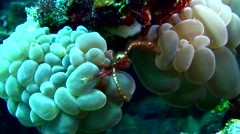 Orang utan crab (Achaeus japonicus) on bubble coral Stock Footage