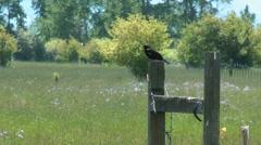 Black bird on fencepost Stock Footage
