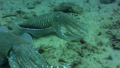 Pharaon cuttlefish (Sepia pharaonis) protecting its female Stock Footage