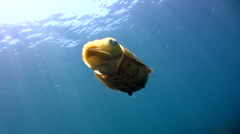 Needle cuttlefish (Sepia aculeata) Stock Footage