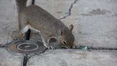 City squirrel eating closeup Stock Footage