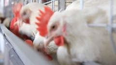 Poultry farm - stock footage