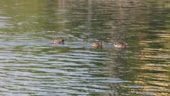 Three ducks swimming in a line Stock Footage