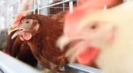 Poultry farm Stock Footage