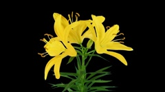 Stock Video Footage of Stereoscopic 3D time-lapse of opening yellow lily (left eye) 1a