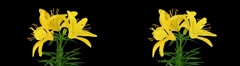 Stereoscopic 3D time-lapse of opening yellow lily cross-eye 1a - stock footage