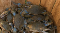live crabs HD - stock footage