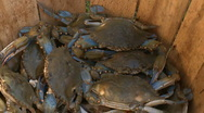 Stock Video Footage of live crabs HD