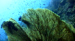 Gorgonian sea fan and coral reef - stock footage