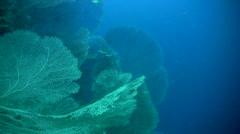 Huge gorgonian sea fans - stock footage