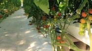Pan Shot of Hydroponic Tomato Plants  (HD) Stock Footage
