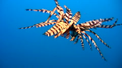 Stock Video Footage of Feather star swimming