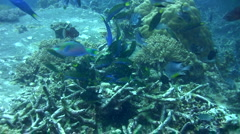 Group of wrasses eating damselfish eggs Stock Footage