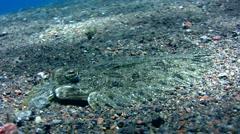 Leopard flounder (Bothus pantherinus) close up - stock footage