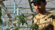 Man Prunes Hydroponic Tomatoes Plants (HD) Stock Footage