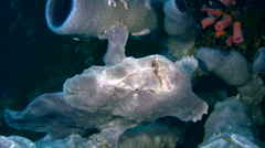 Giant frogfish (Antennarius commerson) opening mouth - stock footage