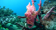Stock Video Footage of Giant frogfish (Antennarius commerson) opening mouth 2