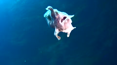 Giant frogfish (Antennarius commerson) swimming - stock footage