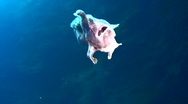 Stock Video Footage of Giant frogfish (Antennarius commerson) swimming