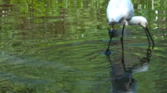 White spoonbill Stock Footage