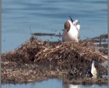 Black headed gull Stock Footage