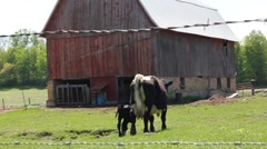 Calf and mama walk away Stock Footage