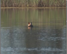 Red necked grebe Stock Footage