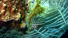 Ornate ghostpipefish (Solenostomus paradoxus) yellow - stock footage