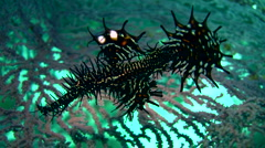 Ornate ghostpipefish (Solenostomus paradoxus) black Stock Footage