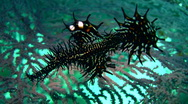Stock Video Footage of Ornate ghostpipefish (Solenostomus paradoxus) black